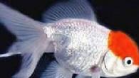 İngiltere'de süs balığı, 7 saat su dışında kalmasına rağmen ölmedi. Carol Norris, öldüğünü sandığı balığı gömmek için akvaryumdan çıkardı. Ancak acilen evden çıkmak zorunda aldı. 7 saat sonra eve dönen...