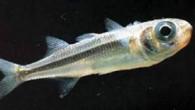 Eğirdir Su Ürünleri Araştırma Enstitüsü (ESUAE) Müdürü, sü ürünleri yüksek mühendisi Hasan Küçükkara, yaptığı açıklamada, son yıllarda özellikle İç Anadolu'daki birçok gölde balık üretiminde ciddi azalmalar görüldüğünü söyledi. Bu azalmada...
