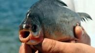 Uol Noticias sitesinin haberine göre, hafta sonu Jose de Freitas sahilinde suya giren tatilciler piranaların saldırısına uğradı. Yüzün üzerinde tatilci, ayaklarındaki ısırıklar yüzünden hastanede tedavi gördü. Yetkililer, aşırı balık avının...