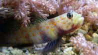 Kaya balığı, Gobiidae familyasını oluşturan hem tropikal hem de ılıman bölgelerde bulunan balık türleri. Hem denizde, hem acı sularda, hem de tatlı sularda yaşayan türleri vardır. Cins içindeki yakın ilişkileri,...