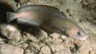 Gelincik (Gaidropsarus mediterraneus), Gadidae familyasına ait bir balık türü. Mezgit ve Bakalyaro ile yakın akrabadır. Ortalama 20-40 cm uzunluğunda olan ve çok kaygan bir derisi olan gelincik balığı, sıcak ve...