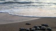 Caretta caretta kaplumbağalarının en önemli üreme alanlarından olan Ortaca ilçesindeki İztuzu kumsalında, yavrular yumurtalardan çıkmaya başladı. Dalyan Mahallesi İztuzu kumsalındaki yavru çıkışları, Pamukkale Üniversitesi bünyesindeki Deniz Kaplumbağaları Araştırma Kurtarma ve...