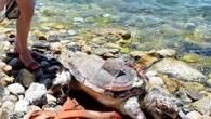 İzmir'in Narlıdere İlçesi'nde, naylon benzeri bir atık yutarak telef olduğu tahmin edilen caretta caretta türü deniz kaplumbağasısahile vurdu. Çevredekilerin haber vermesi üzerine çürümeye yüz tutmuş kaplumbağa ölüsü, belediye ekipleri tarafından...