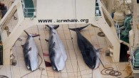 """Over 300 minke whales were killed in Japan's latest Antarctic Ocean """"research mission"""", the Japanese Fisheries Agency said yesterday after the country's whaling fleet return home. The country sent its..."""