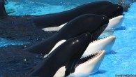 Big changes are coming to marine wildlife park SeaWorld, as the company has announced it will end its orca breeding program, effective immediately. In an op-ed for the LA Times,...
