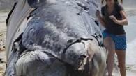 Kaliforniya'nın ünlü sörf merkezi San Onofre sahilinde bir balina ölüsü kıyıya vurdu. Ölü balina, sörf tutkunların uğrak yeri olan sahilde hem ilgi gördü hem de özellikle çocuklar tarafından korkuyla karşılandı....