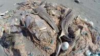 Mersin'in Tarsus ilçesinde sahile vuran ağlarda çok sayıda ölü caretta caretta yavruları ile saban ve vatoz balıkları da bulundu.Tarsus Avcılar Kulübü üyesi amatör balıkçıları tarafından Tarsus Plajı'nda, ağlarda, ölü halde...