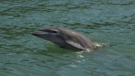 SARASOTA, FL (WWSB) – It has been a record year for dolphin calves. The Sarasota Dolphin Research Program, a Chicago Zoological Society program has been documenting the dolphin population that...
