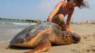 Deniz kaplumbağalarının en çok yaşadığı 9 noktaya yerleştirilen tabelalarda, ölü, yaralı veya yuva yapan kaplumbağa görüldüğünde neler yapılması gerektiği anlatılıyor. Tabelalar, Güzelçamlı Eczacılar ve Tabibler Sitesi, Sevgi Plajı, Ayday Sitesi,...