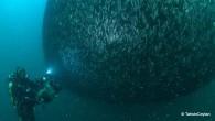 """Doğal ortamında görüntülenmesi son derece güç olan """"hamsi"""", Karadeniz sularında ilk kez Sualtı Görüntüleme Yönetmeni Ceylan'ın objektifine yansıdı. ANKARA – Merve Özlem Çakır Doğal ortamında görüntülenmesi çok zor olan """"hamsi""""..."""