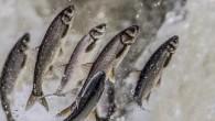 Van'ın Muradiye Kaymakamlığı ve Belediyesi tarafından düzenlenen ve 2 gün boyunca devam edecek olan 'Muradiye Bendimahi Balık Göçü Festivali' başladı. Dünyada sadece Van Gölü'nde yaşayan ve üreme döneminde suyun akışının...