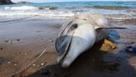 Bodrum'da yaklaşık iki metre boyunda bir ölü yunus balığı kıyıya vurdu. Kuyruğunun kesildiğini tespit edilen yunus, gömülmek üzere belediye ekipleri tarafından sahilden kaldırıldı. Muğla'nın Bodrum ilçesi sahilinde yaklaşık iki metre...