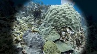 Orbicella faveolata is an important ­reef-building coral that forms large, ­mountainous colonies. Juvenile corals are rather mundane, while adult colonies can grow to an impressive size. Orbicella grows by encrusting....
