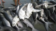 On January 23, 2019, Reps. Gregorio Kilili Camacho Sablan (I-MP) and Michael McCaul (R-TX) introduced the Shark Fin Sales Elimination Act to ban the buying and selling of shark fins...