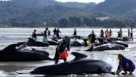 Balinaların yalnız ya da sürüler halinde karaya vurmasının nedenini su altı radarlarına (Sonar) bağlayan çalışmalardaki yeni bir tez, sonar dalgaların balinaları, tıpkı dalgıçların 'vurgun yemesi'ne (dekompresyon) benzer bir etkiye maruz...
