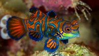 You would think that with its stained-glass coloration, it would be easy to spot mandarinfish. But you'd be wrong. With its vibrant, stained-glass coloration, divers may think it would be...
