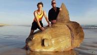 Avustralyalı balıkçılar, Güney Avustralya kıyılarında yaklaşık 2 metre boyunda kıyıya vurmuş bir güneş balığı buldu. Balığın fotoğrafı internette viral olurken deniz canlısının neden kıyıya vurduğu tespit edilemedi. Avustralya'nın güneyinde kıyıya...