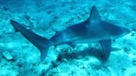 """Uluslararası Doğa Koruma Birliği'ninAkdeniz'deki köpek balıkları ve vatozlara yönelik araştırmasında toplam 77 tür tespit edildi. 20 türün kırmızı listede olduğu ve """"kritik düzeyde tehlike altında"""" kategorisine girdiği açıklandı. Uluslararası Doğa..."""