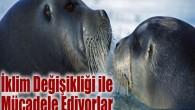 Sakallı foklar daha genç olgunlaşıyor ve daha çok yavruluyor. Her ikisi de sağlıklı bir popülasyonun işaretidir; ancak bilim adamları Kuzey Kutbu hayvanlarının iklim değişikliği esnekliği şampiyonu olmadığına dikkat çekti. İklim...