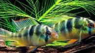 Fransa'da yapılan araştırmaya göre, dişi zebra ciklet balıkları sevdiklerinden uzak kaldıklarında insanlar gibi mahzunlaşıyor ve hayata daha umutsuz bakıyor. Kaynak: Balıklar da insanlar gibi aşk acısı çekiyor. Balıkların ruh halini...