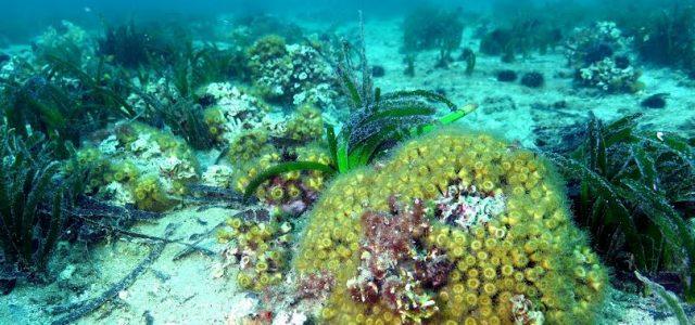 Koruma altına alınan bölge, Türkiye Boğazlar sisteminin tek ve en geniş sert mercan resif ekosistemi olma özelliğini taşıyor. Türkiye'nin ilk sert mercan resif koruma alanı ile artık çok az sayıda kalmış, Akdeniz'in resif oluşturan tek kolonisel türü olarak bilinen, nesli […]