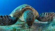 Dünyanın en eski canlılarından olan ve buzul çağlarından sonra bile hayatta kalmayı başaran deniz kaplumbağaları tüm dünyada koruma altındı. Uluslararası Doğayı Koruma Birliği (IUCN) tarafından 'Nesli Tehlike Altında Tür' olarak korunan yeşil deniz kaplumbağalarından biri Kemer'in Üç Adalar bölgesinde deniz […]