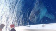 Muğla'nın Datça ilçesinde, balıkçıların oltasına takılan yaklaşık 400 kilogramlık ay balığı denize salındı. Muğla'nın Datça ilçesinde, balıkçıların oltasına takılan yaklaşık 400 kilogramlık ay balığı denize salındı.Kılıç balığı avlamak için Datça Limanı'nda tekneyle denize açılan Umut Kantarlı ile Serkan Akdeniz'in oltasına […]
