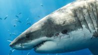 After a possible shark attack in Cape Breton earlier this month, one organization is hoping to determine what exactly happened to the swimmer. The Ocean Tracking Network is a national science facility that tracks movement and survival of marine animals […]