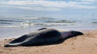 A dead whale – believed to be the second largest species in the world – has washed up on an Aberdeenshire beach. Believed to be a fin whale, it was found at Balmedie beach on Thursday. Aberdeenshire Council said it […]