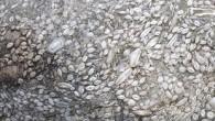 Sivas'ta geçtiğimiz hafta bir çoban tarafından bulunan ve buğday tanelerine ait olduğu düşünülen fosillerin yaklaşık 50-55 milyon yıllık tek hücreli deniz canlılarına ait fosiller olduğu anlaşıldı. Sivas'ın Doğanşar ilçesi kırsalında...