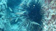 """Hint Okyanusu ve Kızıldeniz'de görülen uzun dikenli zehirli deniz kestanesi, Süveyş Kanalı üzerinden Akdeniz başta olmak üzere Ege kıyılarına yayıldı. Prof. Dr. Mehmet Gökoğlu, """"İnsan teniyle temas etmesi halinde dikenleri aracılığıyla zehirler. Zehrinin öldürücü etkisi yok ama alerjisi olan kişiler […]"""