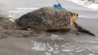 ABD'nin Florida eyaletinde polis tarafından deniz kıyısında hasta halde bulunan Connor isimli deniz kaplumbağası tedavisinin ardından doğaya salındı. Bilim insanları deniz kaplumbağdan haberdar olmak için kabuğuna uydu alıcısı taktı. ABD'nin Florida eyaletine bağlı Longboat Key şehrinde 6 Eylül'de Joshua Connors […]