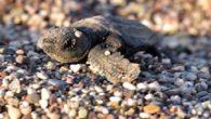 Antalya'nın Kemer ilçesi Çıralı sahilinde son yuvanın da açılmasıyla 2021 yılı caretta caretta sezonu kapandı. Bu yıl 124 yuvadan 3 bin 24 yavru caretta caretta, denizle buluşarak zorlu yolculuğuna çıktı. Dünya Doğayı Koruma Birliği'nin (IUCN) kırmızı listesinde nesli tükenme tehlikesi […]