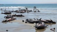 "ALTHOUGH the cause of the deadly beaching of 86 dusky dolphins near Lüderitz last week cannot be pinpointed, marine biologists may have narrowed it down to a ""fast and drastic"" event. The mammals, which included two newborns and several juveniles, […]"
