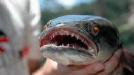 """Avustralya'da vahşi hayatı inceleyen bilimadamları, """"fishzilla"""" olarak bilinen canavar balığın, kendi doğal ortamında hiçbir rakibi olmadığını, karada da tam dört gün boyunca yaşayabilme kapasitesine sahip olduğunu ve yüzgeçlerini kullanarak yürümeye benzer bir hareket geliştirdiğini hatta ağaca tırmanabilmeyi bile başarabildiği için […]"""