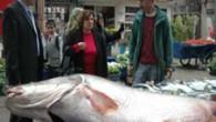 Balıkçılık yaparak geçimini sağlayan 40 yaşındaki Erdoğan Mercan, Kemaliye ilçesi yakınlarında Karasu'da iki arkadaşı ile birlikte balık avına çıktı. Av sırasında ağa takılan dev turna balığı, yaklaşık 2 saatlikmücadelenin ardından nehirden çıkartıldı. Kent merkezinde tezgâha konulan dev turna balığını vatandaşlar […]