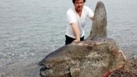 """Muğla'nın Datça ilçesinde yaralı halde sahile vuran yaklaşık 150 kilogram ağırlığındaki """"Ay Balığı"""", görüntüsü nedeniyle balıkçıları korkuttu. Yaralı olarak sahilde bulunan ve kısa süre sonra ölen yaklaşık 150 kilo ağırlığındaki """"Ay Balığı""""nı yakından inceleyen balıkçılar ve köylüler şaşkınlıklarını gizleyemediler. Yaralı […]"""