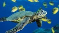 İklim değişikliğinin ülkemizde Akdeniz kıyısındaki kumsallara yumurtasını bırakan deniz kaplumbağalarının üreme dengesini bozacağı, sıcaklık artışıyla birlikte yumurtadan çıkan dişi yavru sayısı artarken erkek yavru sayısının da azalacağı bildirildi. Aksaray Üniversitesi...
