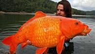 """Fransa'nın güneyinde yer alan bir gölde balık avlayan 30 yaşındaki Raphael Biagini, oltasına """"büyük"""" bir balığın takıldığını hissetti. Raphael'in bu balığı gölden çıkarması on dakika sürdü. Raphael, birlikte avlandığı arkadaşlarının..."""