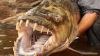 Vahşi doğa ile ilgili televizyon programı yapan İngiliz balıkçı Jeremy Wade, 8 gündür peşinde olduğu dev pirana balığını yakalamayı başardı. 52 yaşındaki Wade, Afrika'da bulunan Kongo Nehri'nde kaplan balığı da...