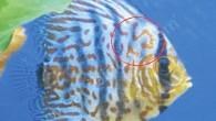 """Üzerindeki çizgileri TS harfleri şeklinde olan bordo – mavi renkli balığın sahibi Tolga Salur, e-ticaret sitesi sahibinden.com'a 20 Eylül'de verdiği ilanda, """"Balığım, yerinin Trabzon olduğunu söylüyor"""" Benim de sahibi olmadığımı..."""
