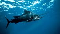Kılıç balığı (Xiphias gladius), Xiphiidae familyasından üst çenesi kılıç gibi uzamış yırtıcı bir balık türü. Kılıç balıkları; vücut kaslarından gelen ısının gözlerine aktarıldığı özel bir ısıtma sistemine sahiplerdir. Bu ısıtıcı...