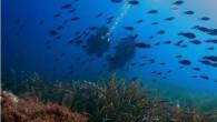 Derinde bir an, takılmışsın papaz balıklarının peşine, deniz çayırlarının üzerinden süzülen hafif akıntıya bırakmışsın kendini… akıntıyla, denizle, balıklarla bir olmuşsun. Süzülüyorsun, sargozlar seni süzüyorlar, ileride bir sinarit görüyorsun. Yüz vermiyor sana pek, süzülüyorsun, her taşın, her yosunun, her kaya parçasının […]