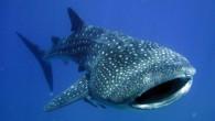 Balina köpek balığı (Rhincodon typus), Rhincodontidae familyasından devasa büyüklükte, zararsız bir köpek balığı.[1] Tüm denizlerde görülmekle birlikte başlıca yaşam alanı tropikalardır. Gri veya kahverengi olan gövdesinde küçük noktalar ve beyaz-sarı...