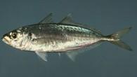 İstavrit, Trachuridae familyasından Trachurus cinsini oluşturan balık türlerine verilen ad. Birbirine çok benzeyen bu balıkların vücudu yanlardan biraz basık ve iğ biçimindedir. Ağzı öne doğru uzayabilme yeteneğinde, dişleri ince, gözleri...
