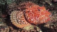 İskorpit (Scorpaena porcus, Scorpaenidae familyasından bir balık türü) Yaşamı aynı aileden olan Lipsos'un aynıdır. Farkları İskorpit'in Lipsos'a göre daha küçük olması (ortalama 20 – 30 cm.) ve renginin koyuluğudur. Eti...