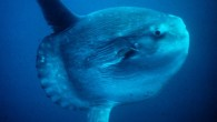 Ay balığının derisi 15 cm kalınlığındadır, dünyadaki bütün organizmalar içinde en kalın derisiye sahip canlı olma özelliğini taşır. Bu kalın derisinin üzerinde 50 civarı değişik parazit türü ve çeşitli mikroorganizmalar...