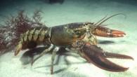 Istakoz denizlerde yaşayan kabuklulardandır. Renkleri türlere göre değişiklik gösterse de mavinin tonlarından yeşil, kahverengiye kadar renklerde görülebilir. Kanının rengi mavidir. 30-35 cm boy 4-5 kiloya kadar büyüyebilir. Türkiye'de Marmara denizi,...