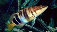 Hani balığı, Serranidae familyasını oluşturan çoğu ılıman ve tropikal denizlerde, bir kısmı acı ve tatlı sularda bulunan balık türleri. Dorsal yüzgeçleri iki tane olup, dikey ışınlıdır. Pulları ktenoid tiptedir. Yan...