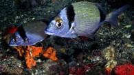 Diplodus vulgaris, two banded sea bream ve başka dillerde kim bilir hangi garip isimlerle anılan bu güzel balık bu günkü güzellemenin konusu. Ülkemiz sularında balık fotoğraflamaya çalışan yurdum fotoğrafçısının kurtarıcısı, sinek iğneli çocukluk oltalarımızın bir numaralı müşterisi bir garip balık. […]